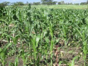 Field of maize in Kenya