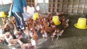 feeding hens in Thailand